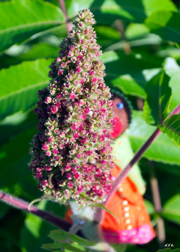 """Little Mother stands behind a budding sumac """"cone"""" of little flowers."""