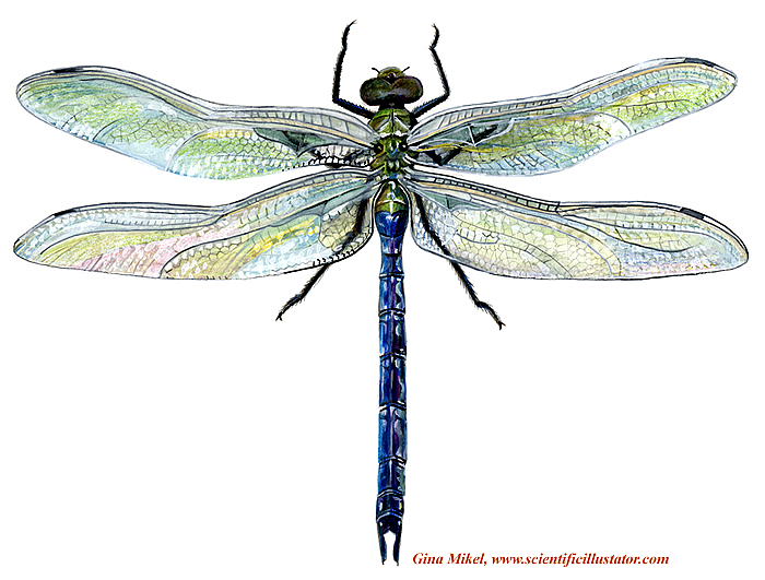 Green dragonfly pictures - photo#20