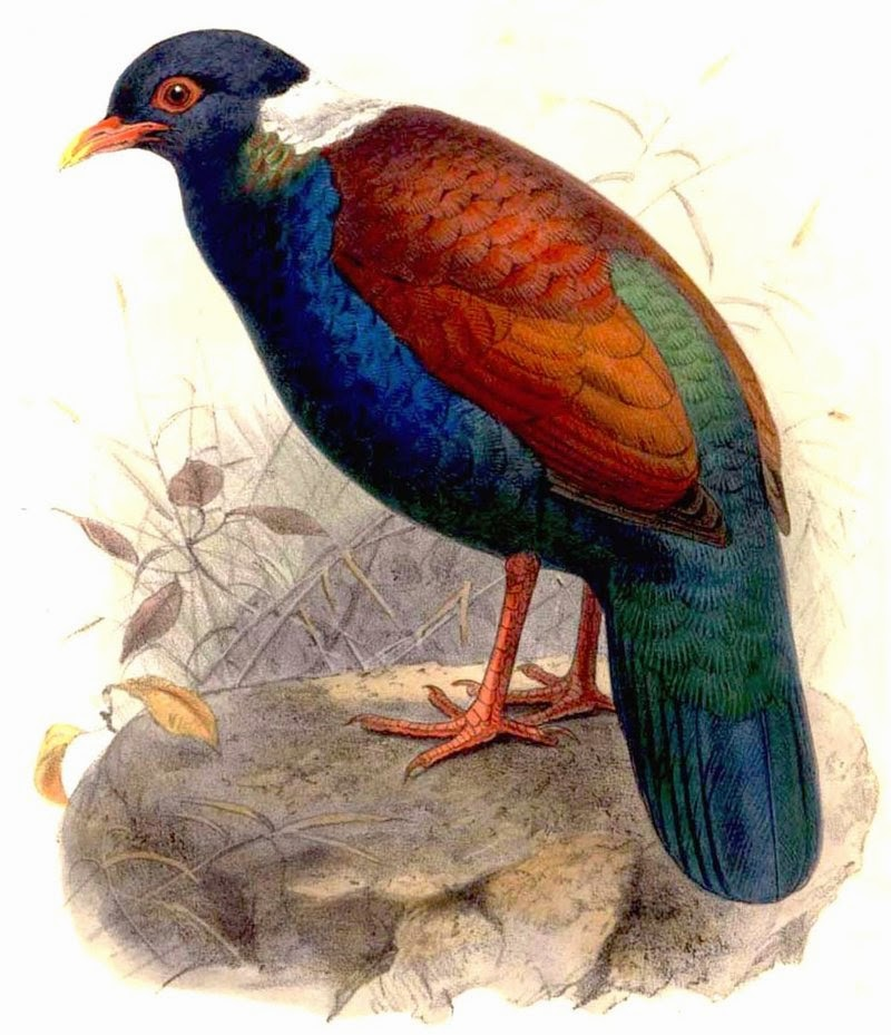 Green naped pheasant pigeon