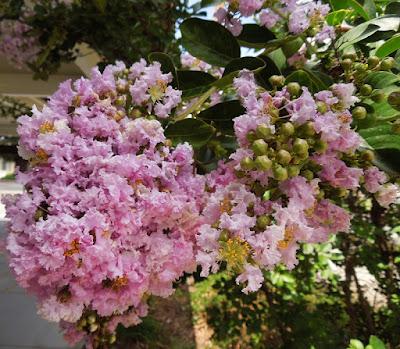 Light Pink Crape Myrtle Tree in July, Paso Robles, © B. Radisavljevic