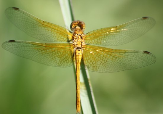 Goldren dragonfly press