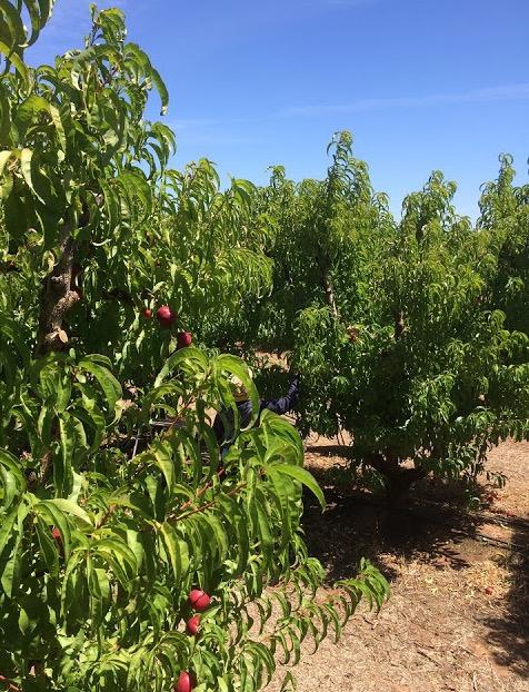 Nak kerja petik buah di Australia? Baik Tak payah.