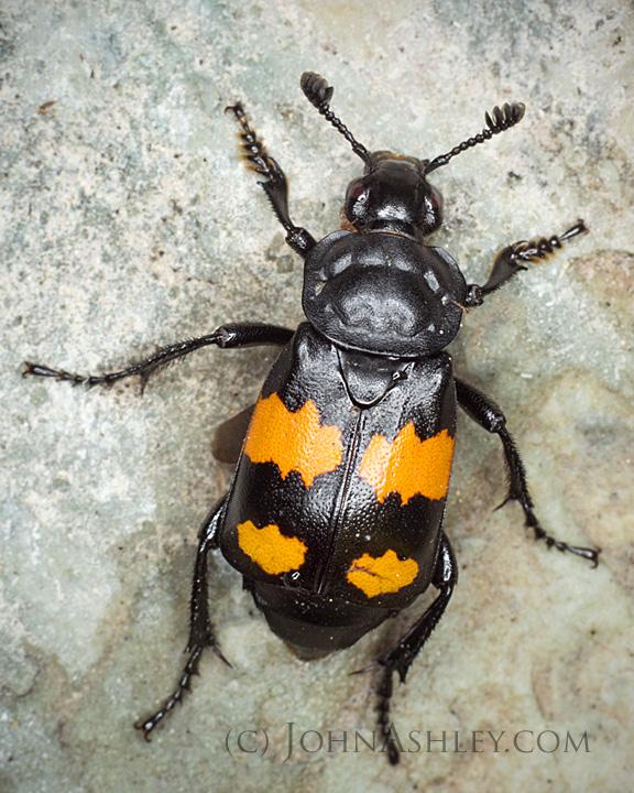 Adult Sexton beetle (Nicrophorus vespilloides)