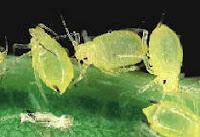 Plagas en el Cultivo de Hortalizas