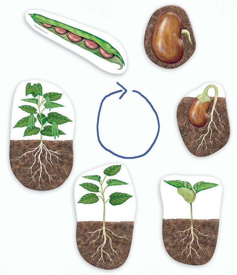 on Lima Bean Clipart Worksheet Kindergarten