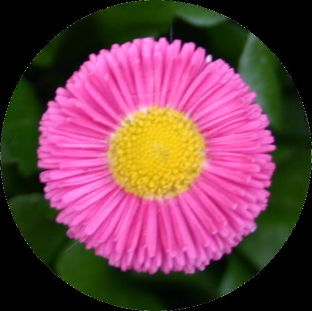 Paint.NET-Flor rosa_ corte redondo sob fundo transparente