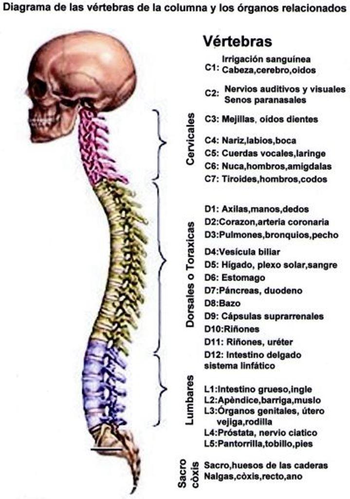 Fantástico Gráfico De La Anatomía Columna Vertebral Colección de ...