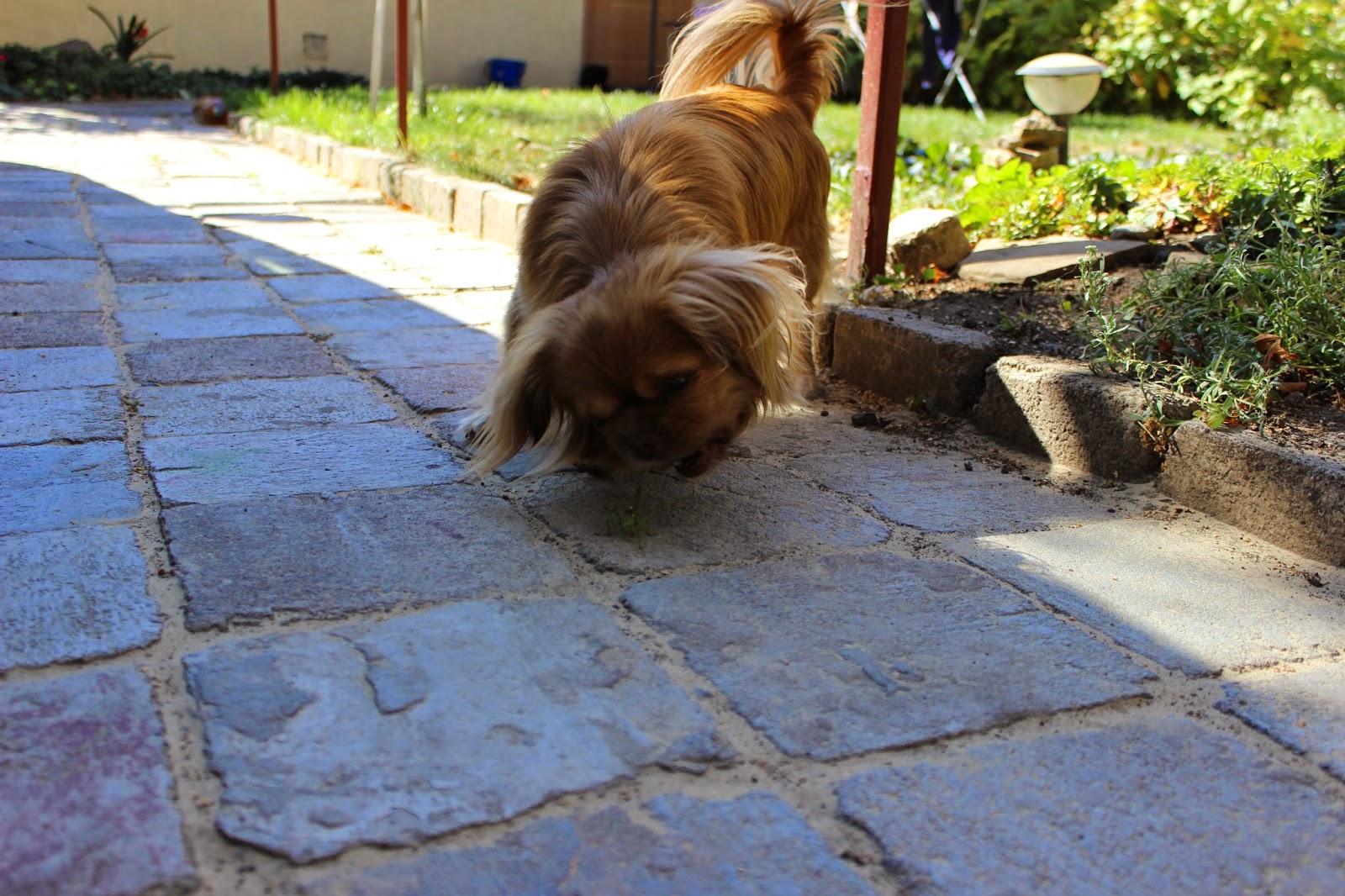 пекинес, фото собак, фото пекинеса, смешные фотки, забавные фото