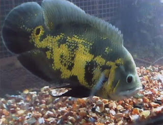 Allah's Name Appears on an Oscar Fish Picture