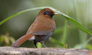 Burung Samho(Sambo)-Membahas tentang Makanan yang Dibutuhkan Burung Samho(Sambo)-Keunggulan Burung Samho(Sambo) dan Keunggulan Burung Samho(Sambo) Burung Samho(Sambo) yang bernamakan latin (Garrula Milleti) yang memiliki bulu yang berwarna coklat kekuningan berasal dari negara Cina, sering juga di sebut sambo. Suara jantannya seperti suara seruling.Pada era 1990-an, ada beberapa burung impor yang popular di arena lomba. Misalnya poksai hongkong, hwamei, pekin robin, dan samho. Yang disebut terakhir ini jarang diketahui kicaumania zaman sekarang. Samho termasuk dalam famili Leiothrichidae, atau masih berkerabat dekat dengan poksai hongkong, poksai jambul, robin, hwamei, dan pancawarna. Burung samho memiliki gaya unik dan kicauan merdu, tetapi sekarang menghilang dari peredaran, seolah ditelan zaman.Keberadaan burung samho saat ini ibarat hilang ditelan zaman. Padahal kalau burung ini masih bisa ditemukan di pasar-pasar burung seperti era 1990-an, tentu banyak diburu kicaumania terutama untuk dijadikan burung master. Di Eropa, burung samho justru berhasil dikembangbiakkan.   Makanan yang Dibutuhkan Burung Samho(Sambo)-Pakan alami burung samho adalah serangga, semut dan buah-buahan. Pakan utama burung samho adalah keong dan serangga seperti kumbang dan ulat. Burung ini juga menyukai berbagai jenis buah. Sama seperti spesies poksai lainnya, samho gemar mandi, bahkan bisa beberapa kali dalam sehari.  Keunggulan Burung Samho(Sambo) Kicaunya melengking indah Warna bulunya menarik Kelemahan Burung Samho(Sambo) Sulit untuk di jinakkan Karakternya tidak termasuk kriteria lomba kicau