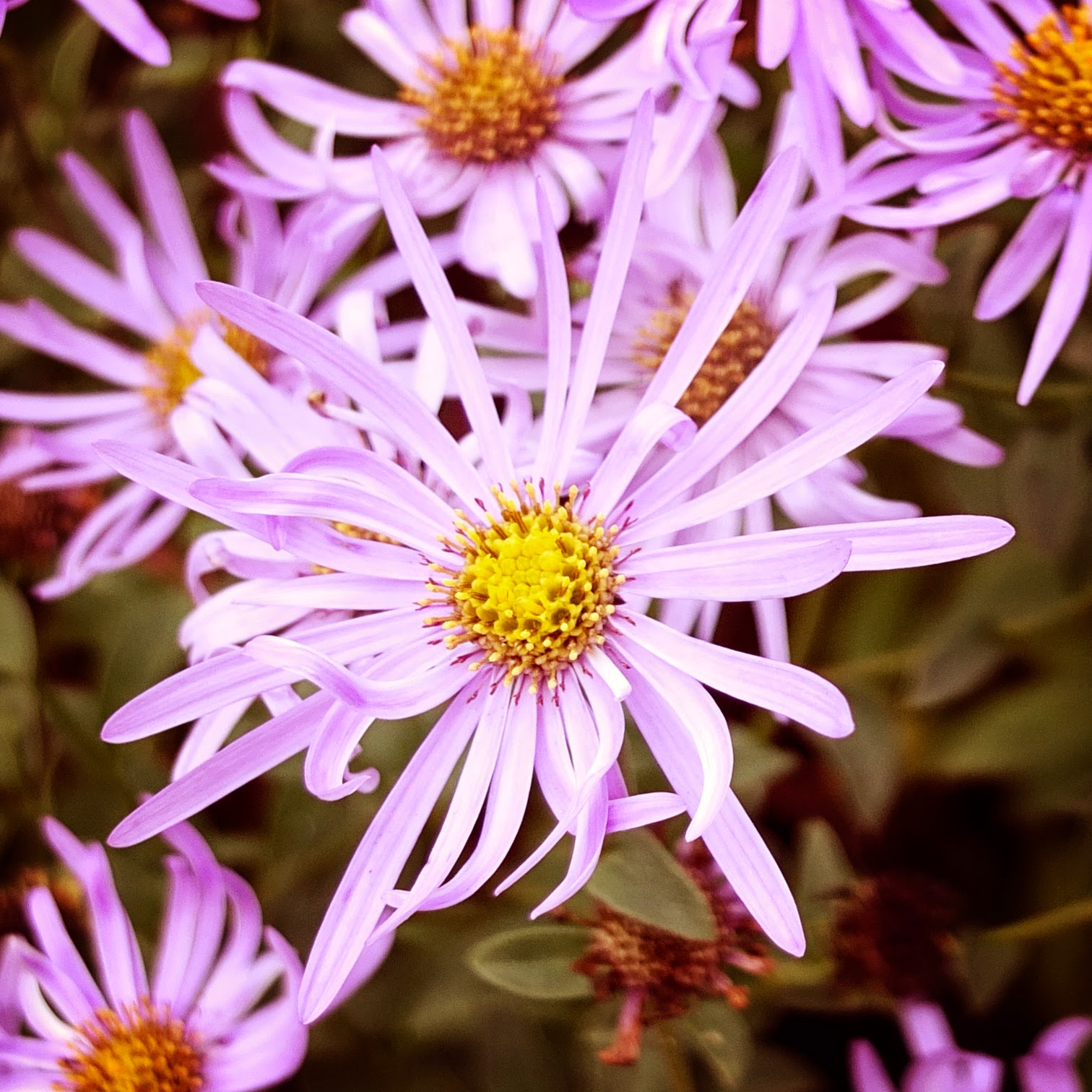 Lilac Aster © Louise Jolley Photography