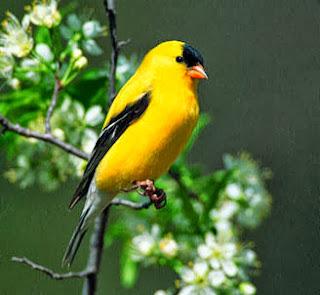 suara burung Finch American Goldfinch, harga Finch American Goldfinch, jual beli burung finch