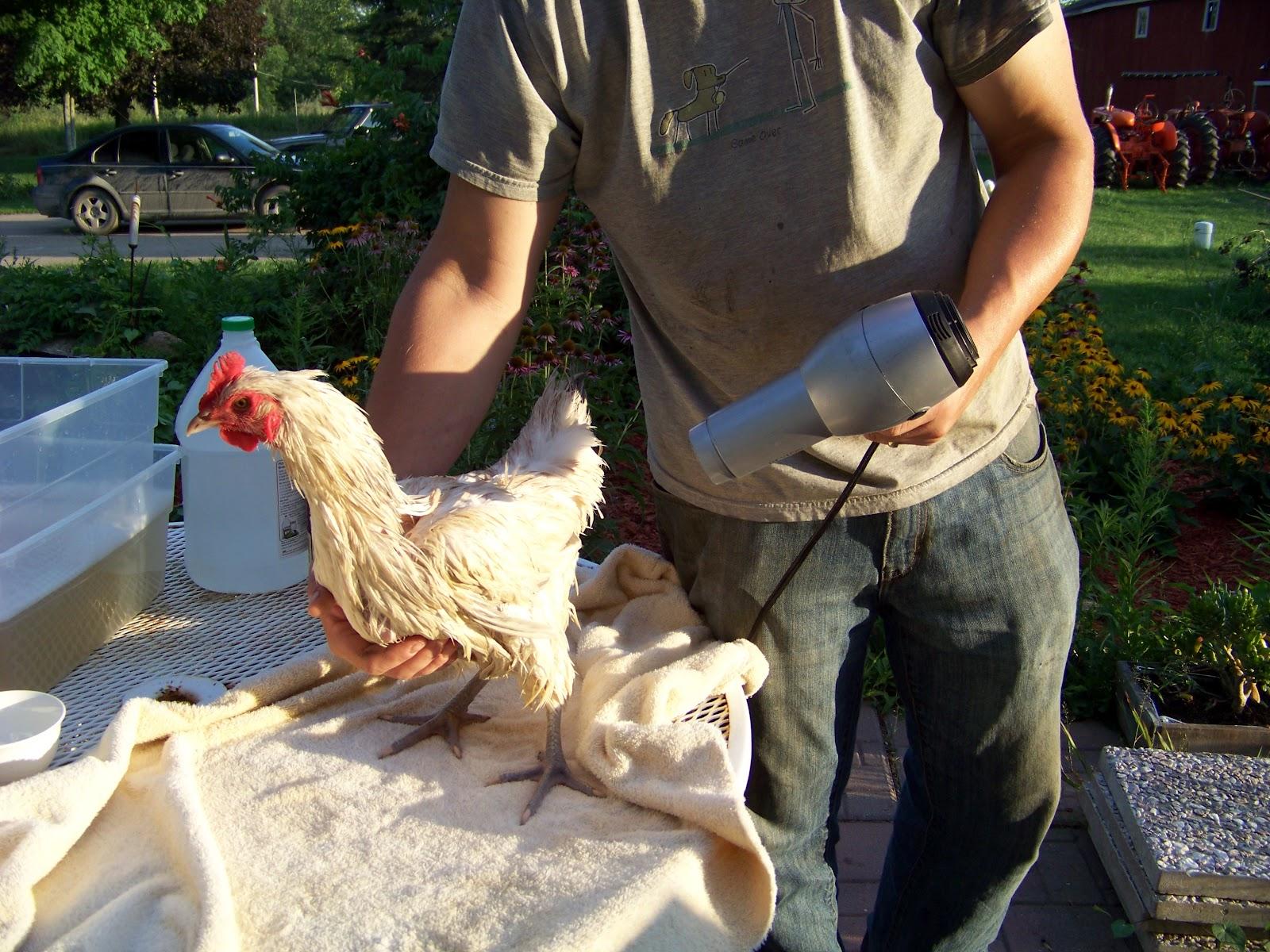 chicken bath 101 community chickens