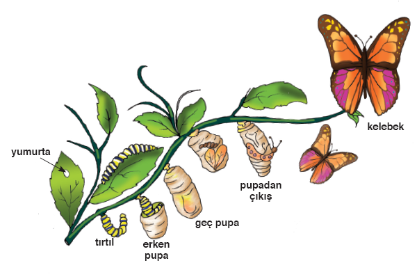 Pupa dönemi sonunda koza yırtılır ve kelebek oluşur