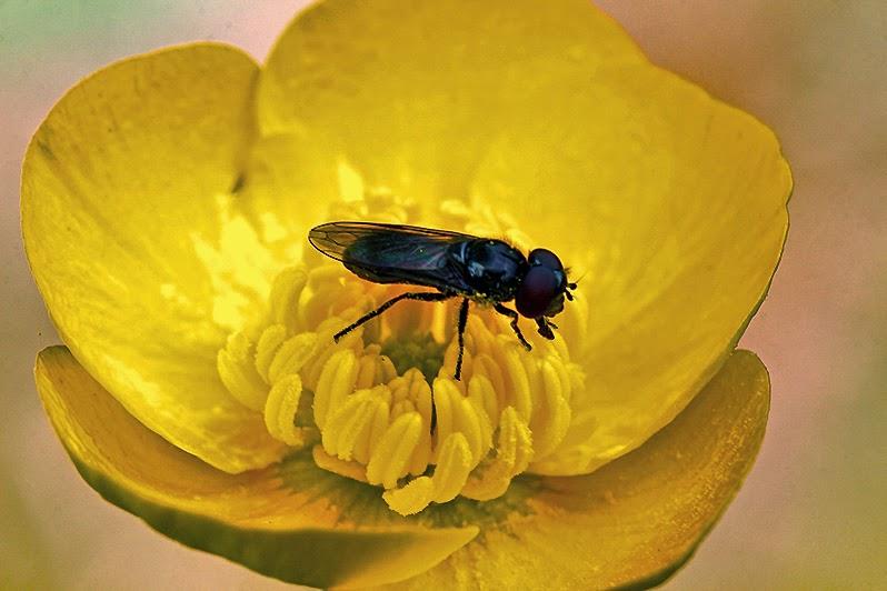 Fotos - Bilder - Pflanzen - Tiere - Insekten - Fliege - Hahnenfuß