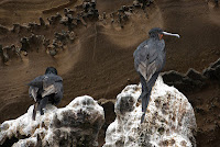 Birds Perched on Aa Lava on Isabela Punta Albemarle