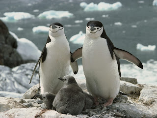 Penguins Family || Top Wallpapers Download .blogspot.com