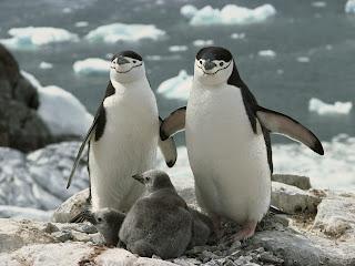 Penguins Family || Top Wallpapers Download .blogspot.com