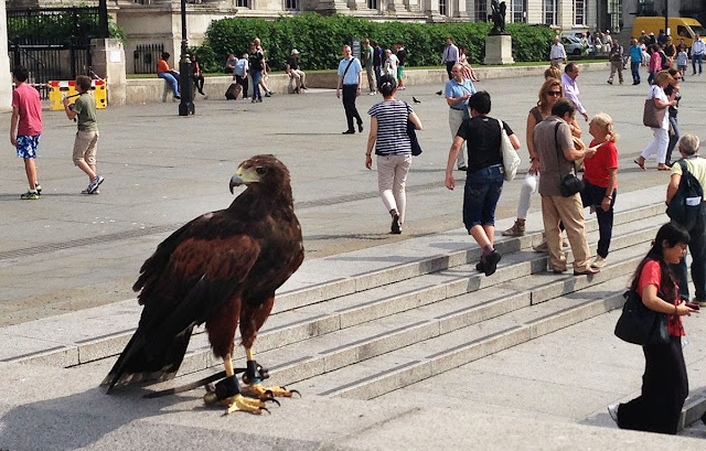 Harris Hawk in Trafalgar Square, 23 July 2013.