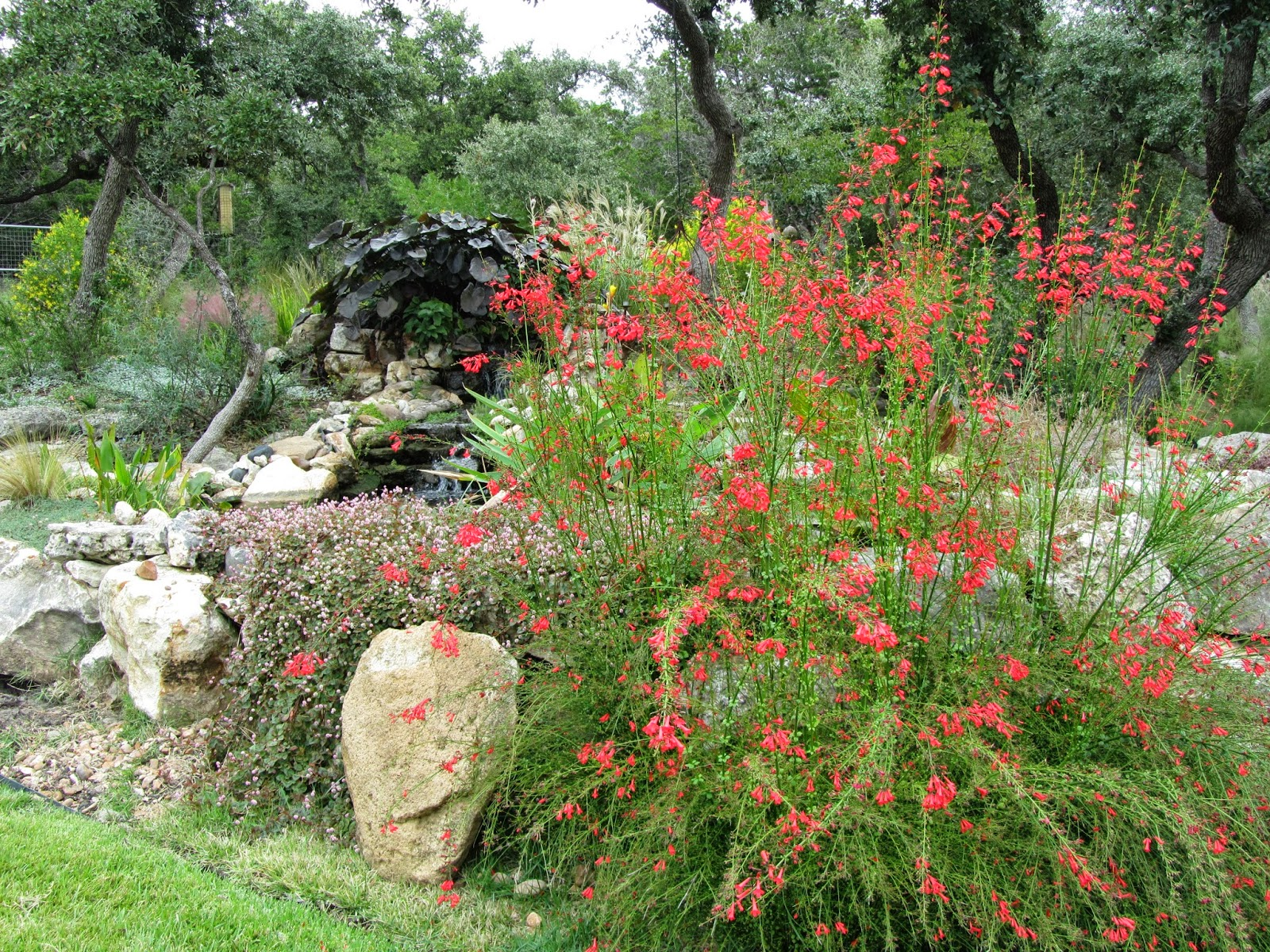 South Texas Red Garden October Hastypearl