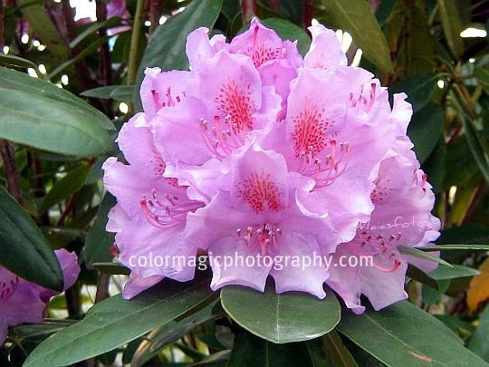 Pink-lavender rhododendron close-up