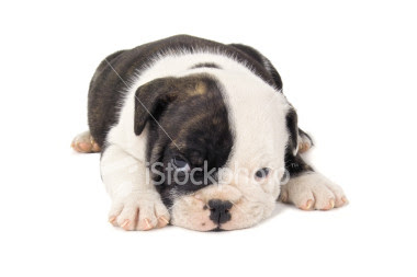 Bulldog Puppies Pictures