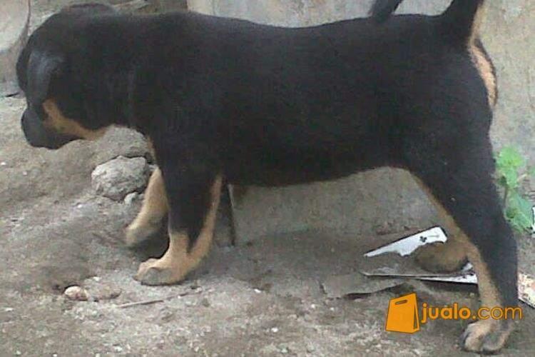 Anjing doberman mix pitbull
