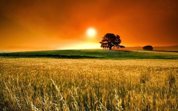 hình nền hoàng hôn trên cánh đồng lúa đẹp