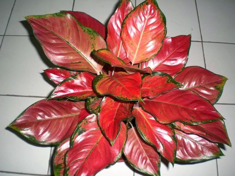 tanaman-hias-indoor-aglaonema