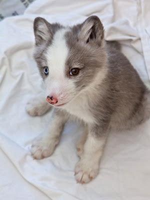 Động vật có hai mắt màu khác nhau