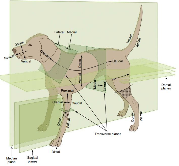 Anatomical terms in dogs ~ MAURIVET
