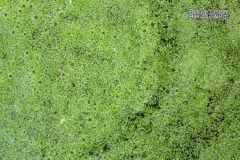 聯盛國際水族部: 金魚的營養聖品--仁丹藻 聯盛國際水族部  聯盛國際水族部