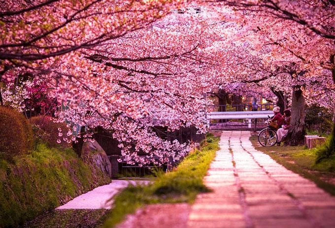 Curiosidades del mundo: Sakura o flor de cerezo