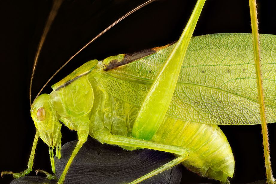 Amblycorypha oblongifolia, Oblong-winged katydid, Upper Marlboro, Maryland