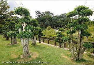 Pohon Serut Untuk Tanaman Bonsai