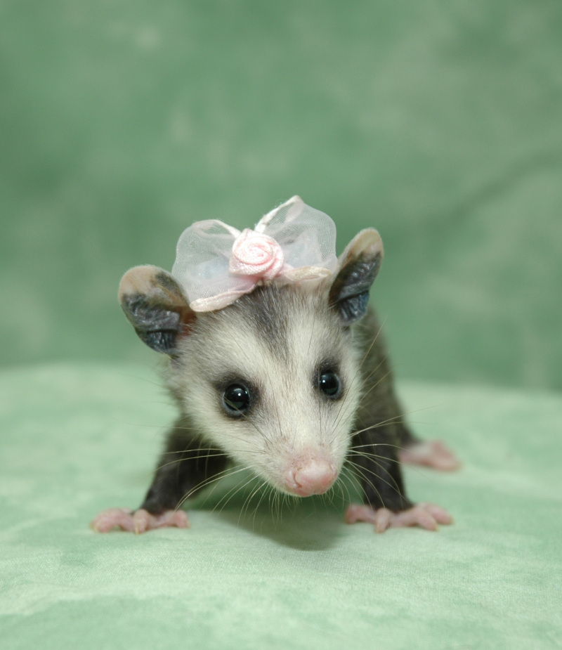 Leah's Stuff: Friday Finds: Possums! Possums are cute.