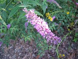 Butterfly Bush Garden
