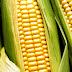Ponen alto al maíz transgénico en México