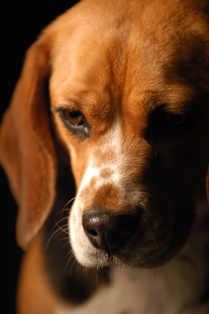 Beagle Dogs Pictures | cute puppy pictures | cute dogs pictures | cute ...