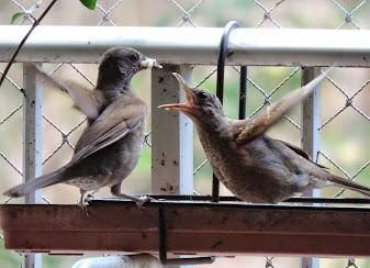 """""""Meus"""" passarinhos clicados aqui e ali"""