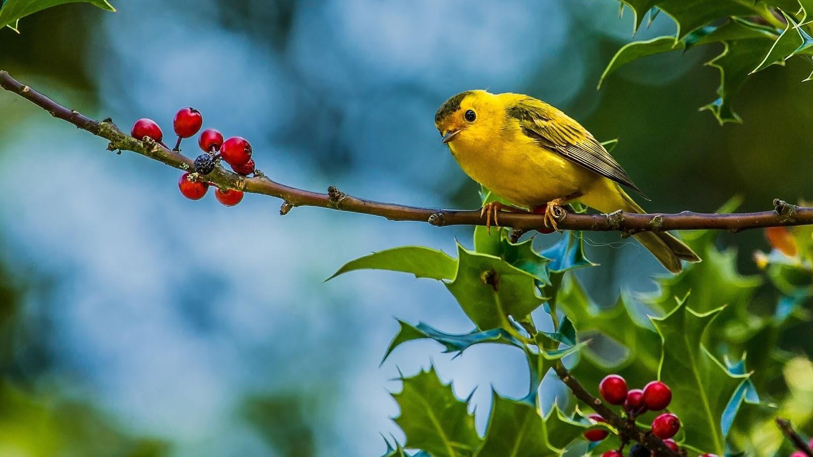 Cute bird images hd yellow best hd wallpapers for Bird wallpaper