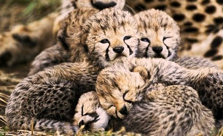 cute baby cheetah pictures