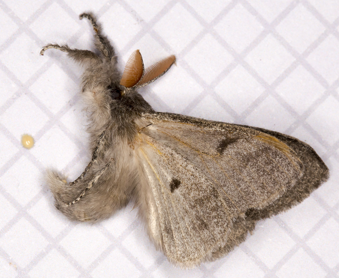 Pale Tussock, Calliteara pudibunda forma concolor, playing dead after being moved onto the measuring paper.  West Wickham Common light trap set on 7 May 2014.