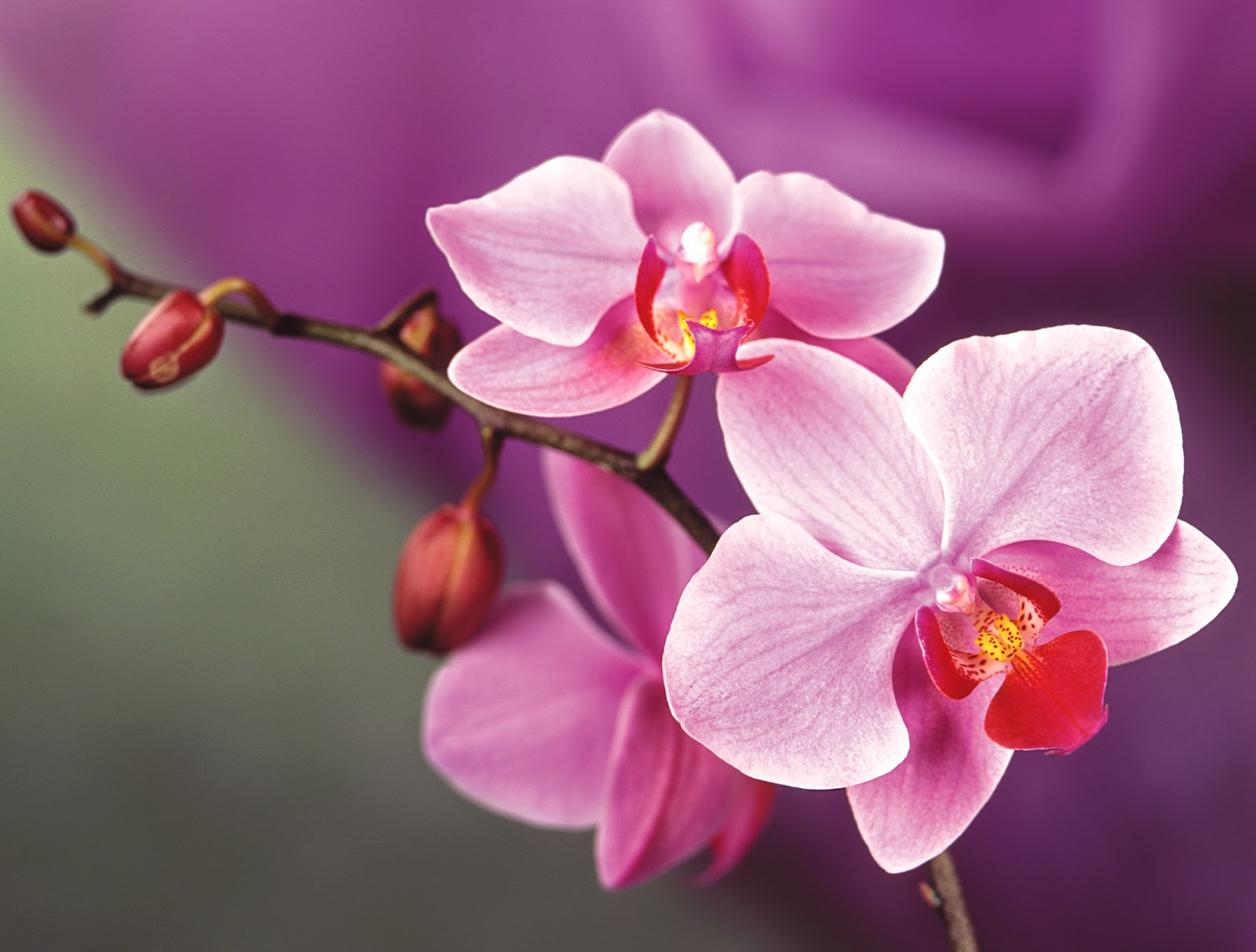 Orchid Flower image HD...