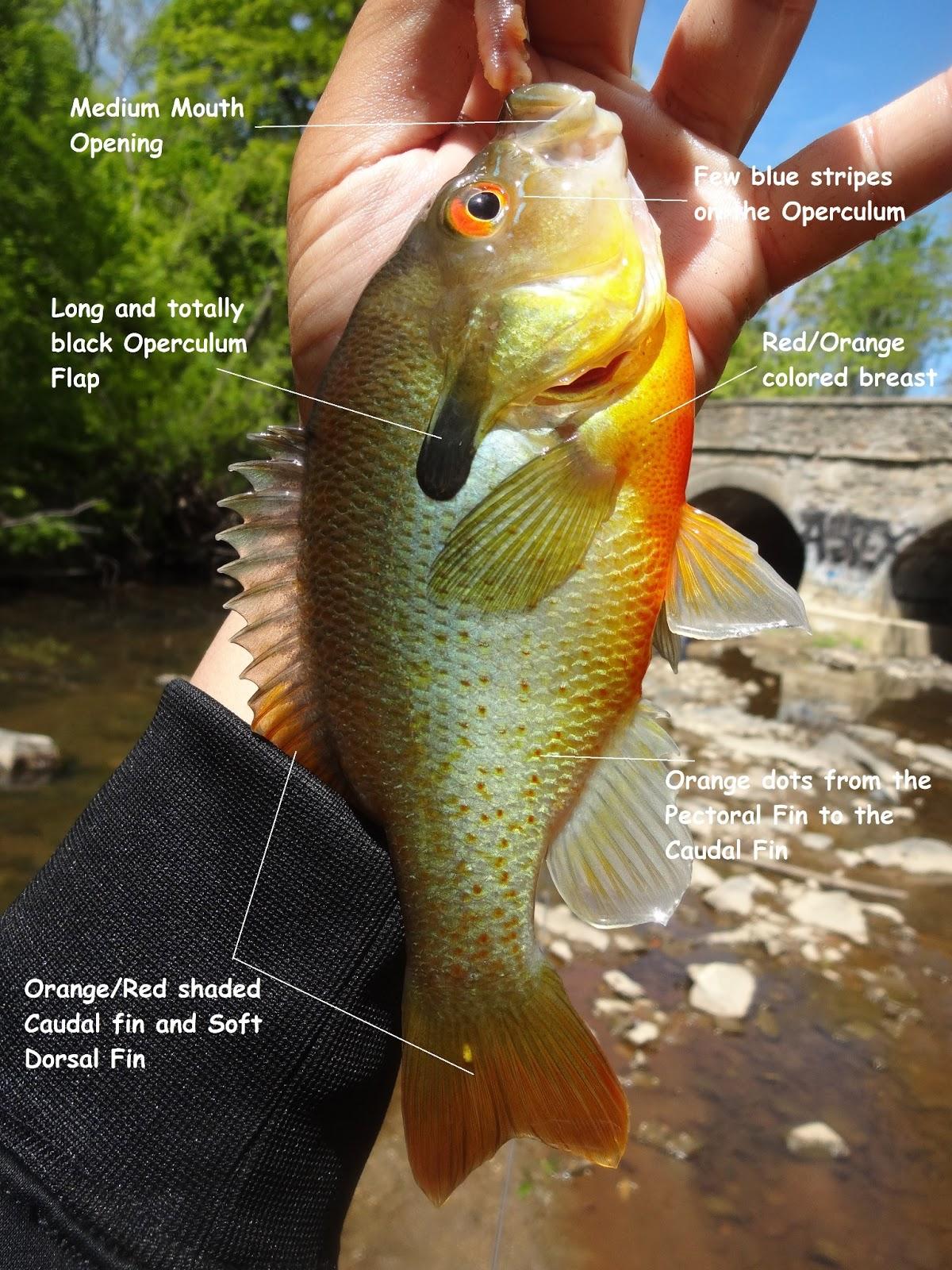 redbreast sunfish 2 pennypack creek april 10th 2013