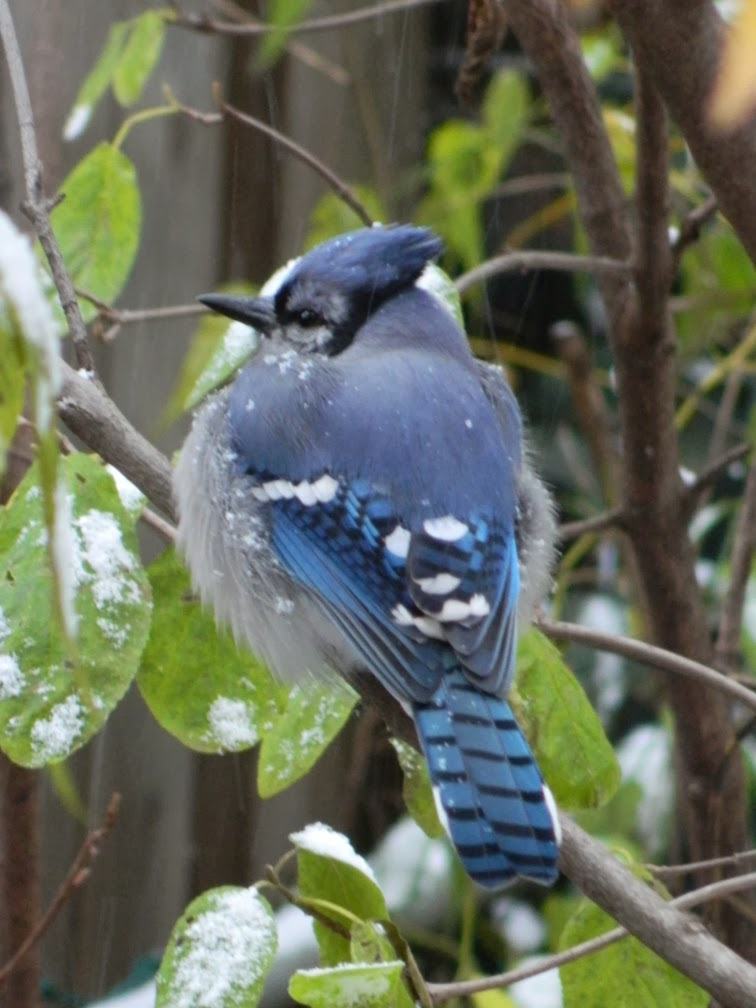 Blue Jay Cyanocitta cristata in early winter by garden muses-a Toronto gardening blog