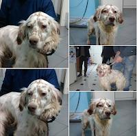 Setter cane caccia adozione