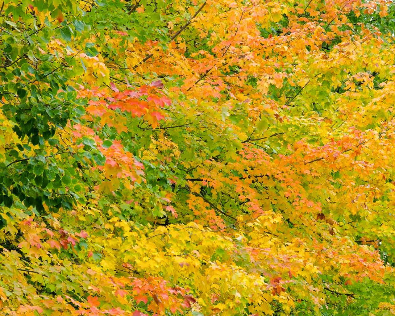 Fall foliage free desktop background by Jeanne Selep