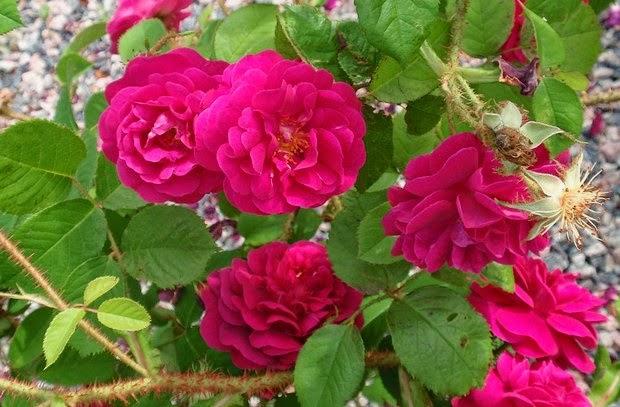 Arte y jardiner a rosales centifolias for Jardineria rosales