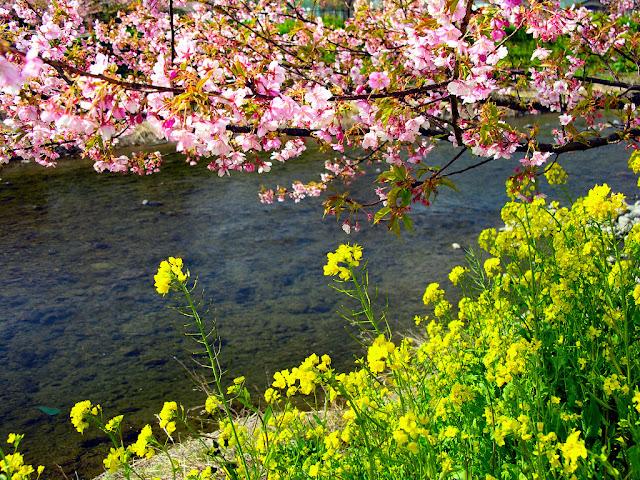 Ảnh đẹp hoa đào rộn ràng ngày tết hòa đào,